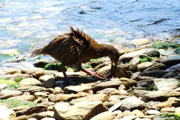 Point 5 - A Weka looking for food - Copyright Freewalks.nz
