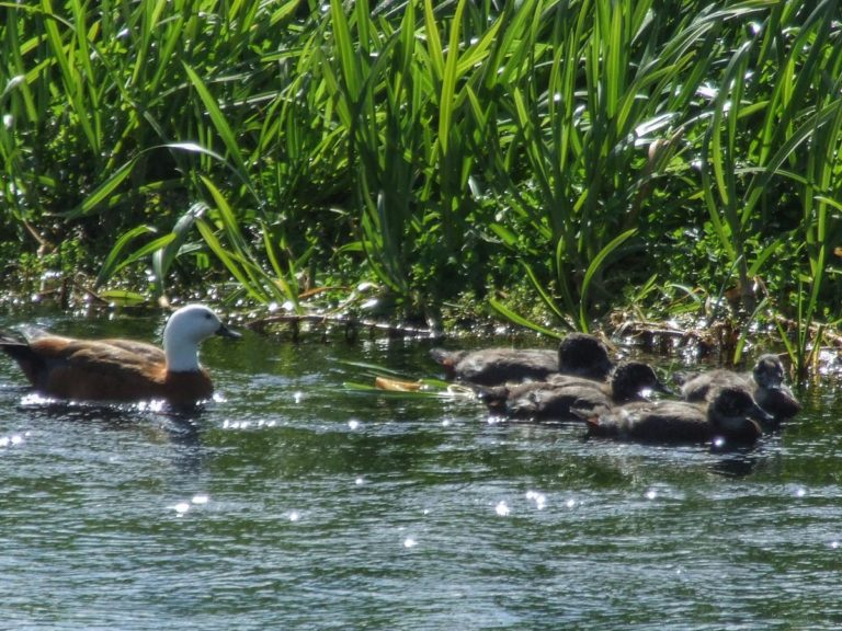Paradise ducks enjoying the crystal clear water of the Waihou River
