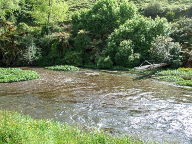 Look out for trout along the Blue Springs, Te Waihou River Walk
